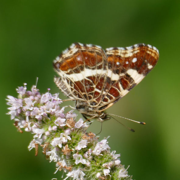 The latest fad for Butterflies ~ Mint Nectar Smoothie.